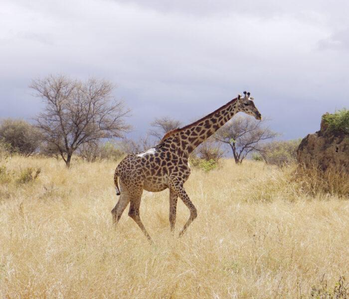Massai-Giraffe im Tarangire-Nationalpark